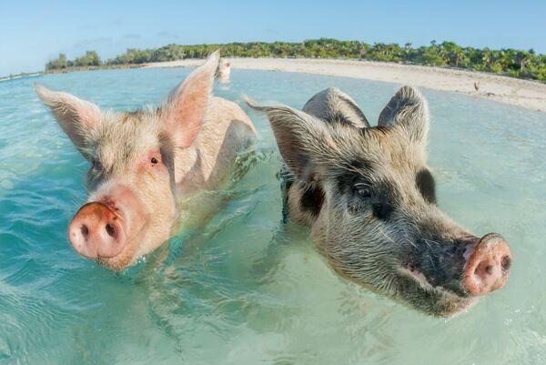 Две свиньи плавают на Багамских островах