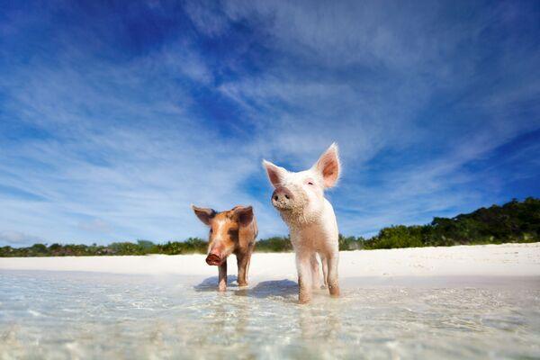 Две свиньи на Багамских островах