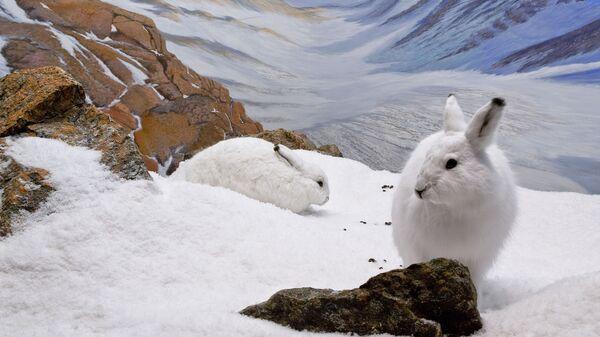 Арктические зайцы. Северная Канада