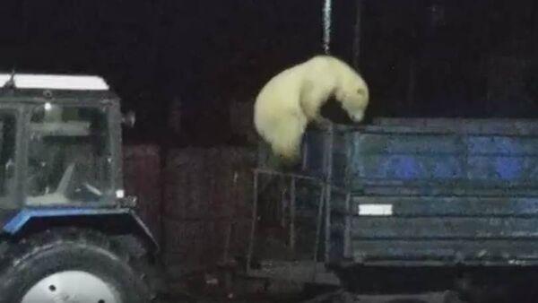 Медвежонок ищет еду в поселке Диксон