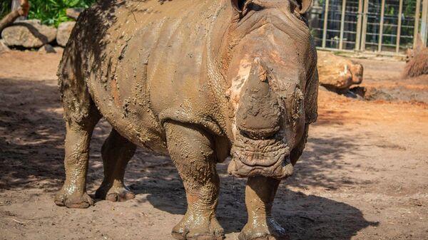 Носорог в зоопарке города Мельбурн в американском штате Флорида