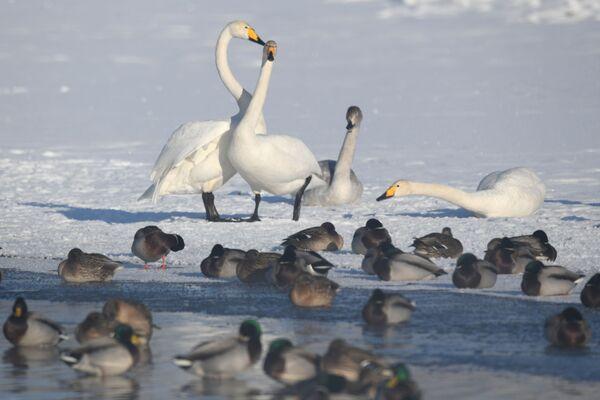 Лебеди-кликуны и утки зимуют на Лебедином озере, расположенном на территории государственного природного комплексного заказника Лебединый в Алтайском крае