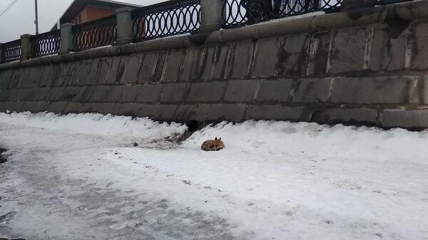 Лисица застряла на льдине на Москве-реке около Павелецкой набережной