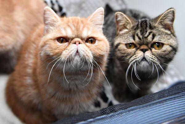Кошки породы экзотическая короткошерстная на выставке котят Любимчик в Москве