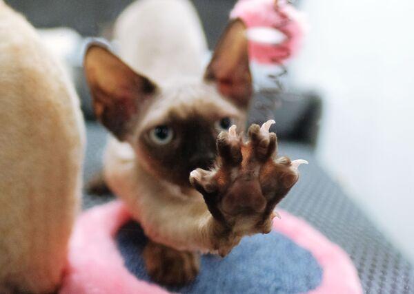 Кошка породы корниш-рекс на выставке котят Любимчик в галерее Мир кошек в Москве