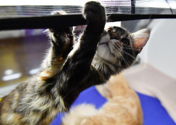 Кошка породы мейн-кун на выставке котят Любимчик в галерее Мир кошек в Москве