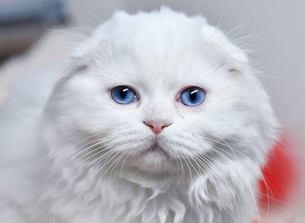 Кошка породы хайленд-фолд на выставке котят Любимчик в галерее Мир кошек в Москве