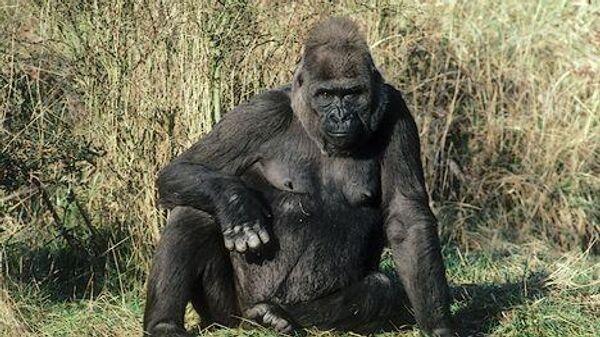 Африканская горная горилла