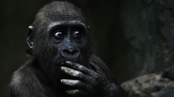 Западная равнинная горилла в Московском зоопарке