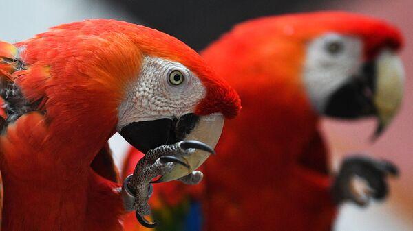 Красный ара в Московском зоопарке