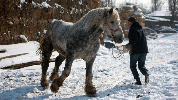 Лошадь породы першерон в хозяйстве Исмаила Адаева в Кыргызстане