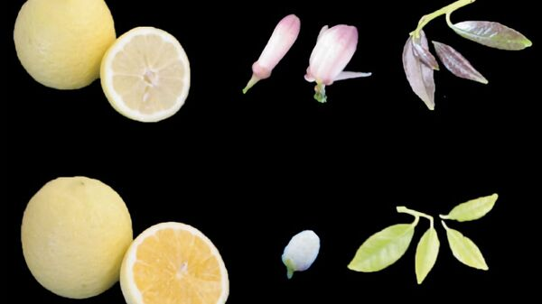 Кислый лимон сорта Эмбер (сверху) с темными семечками и сладкая разновидность того же сорта (снизу) с белыми цветами и семенами