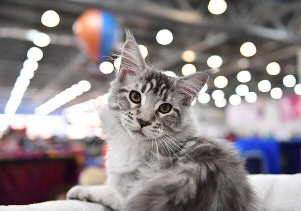 Кошка породы мейн-кун на выставке Кэтсбург