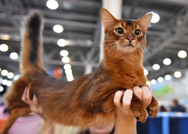 Кошка породы абиссинская на выставке Кэтсбург
