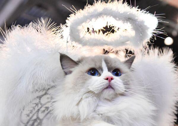 Кошка породы рэгдолл в костюме белого ангела участвует в конкурсе Кошка в одежке на выставке Кэтсбург