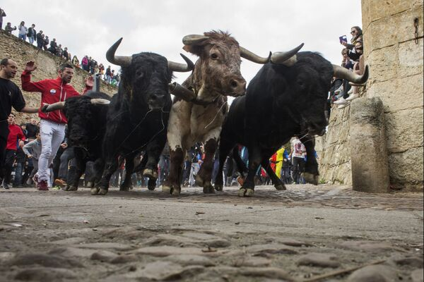 Быки бегут по улицам во время Карнавала дель Торо в Сьюдад-Родриго