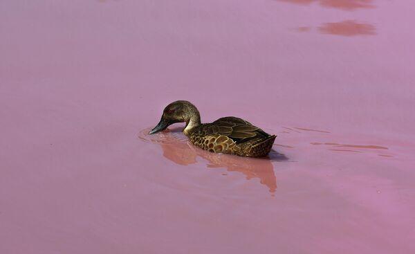 Утка на озере в парке Вестгейт, которое окрасилось в розовый цвет в Мельбурне, Австралия