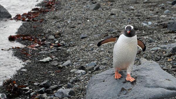 Пингвин на острове Ватерлоо в Антарктиде