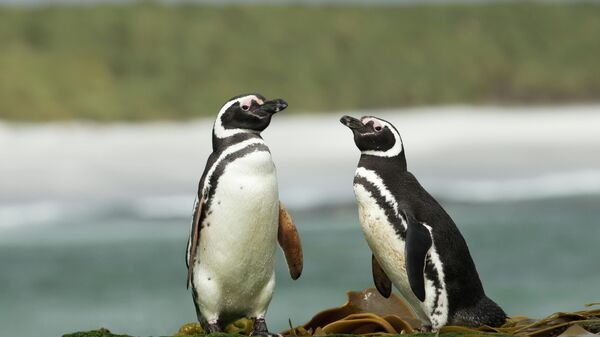 Два магеллановых пингвина стоят на берегу Атлантического океана, Фолклендские острова