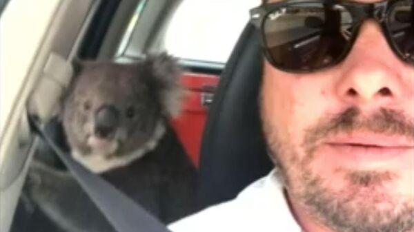 Дикая коала забралась в машину