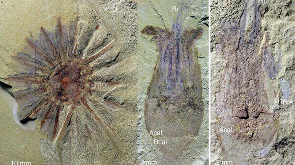 Останки древнейшего морского гребешка, найденные в Китае