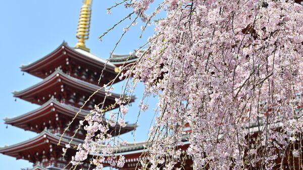 Сакура возле храма в Асакуса, Япония