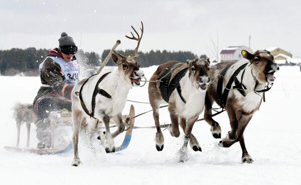 Участник гонки на оленьих упряжках на празднике Дня оленевода в Надыме