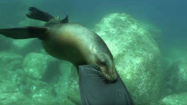 Морской котик отбирает ласты у дайвера