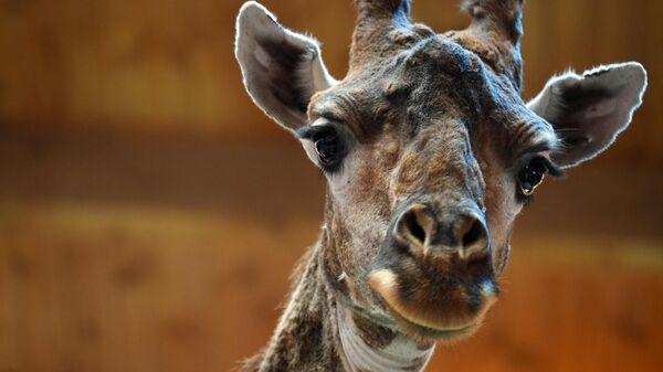 Жираф в вольере Московского зоопарка