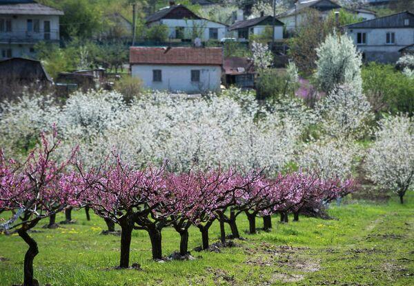 Цветущий персиковый сад в селе Терновка Балаклавского района Севастополя