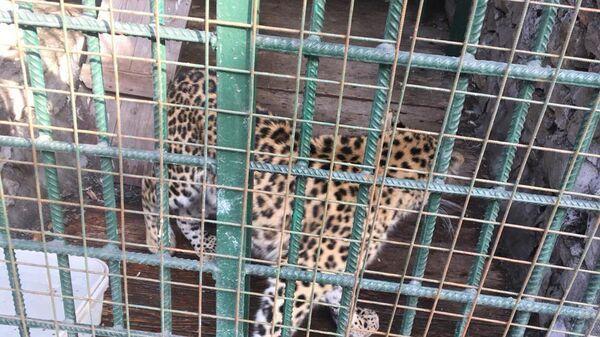 Леопард в зооуголке Новокузнецкого торгового комплекса