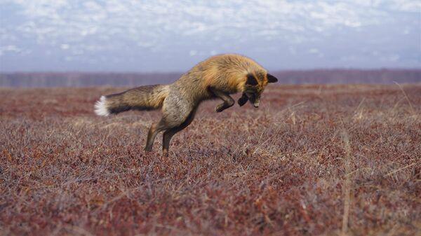 Лис на территории Кроноцкого государственного природного биосферного заповедника