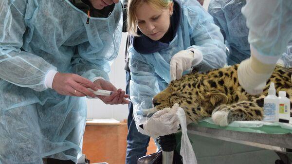 Медосмотр леопарда