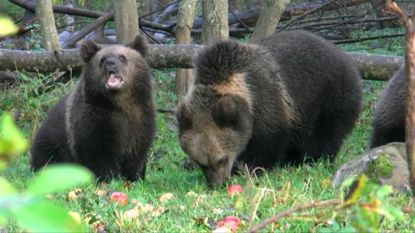 Медвежата кушают яблоки, леса Тверской области
