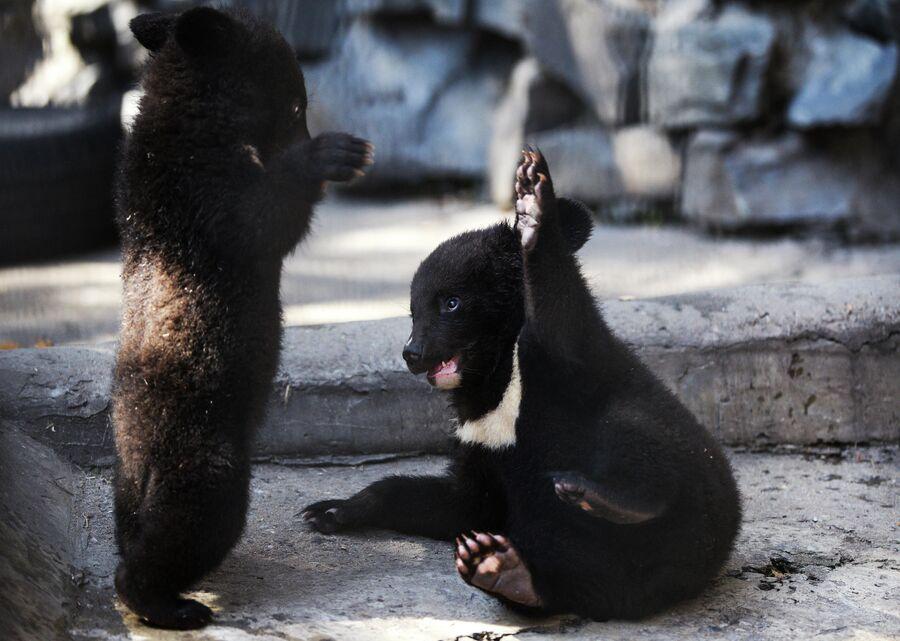 Гималайские медвежата в Новосибирском зоопарке