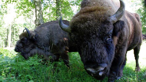 Семья зубров (крупный дикий бык ) в зубровом питомнике Приокско-террасного государственного природного биосферного заповедника