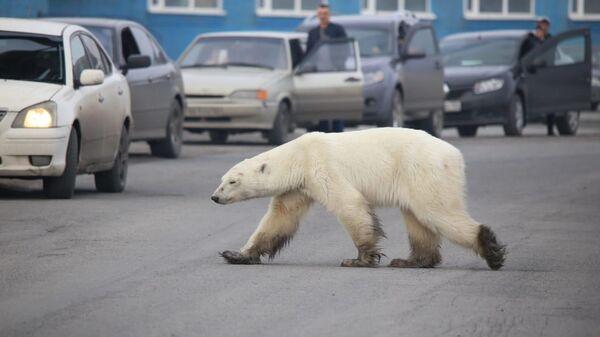 Белая медведица гуляет по улицам Норильска. 19 июня 2019