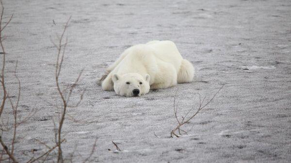 Белая медведица гуляет по улицам Норильска