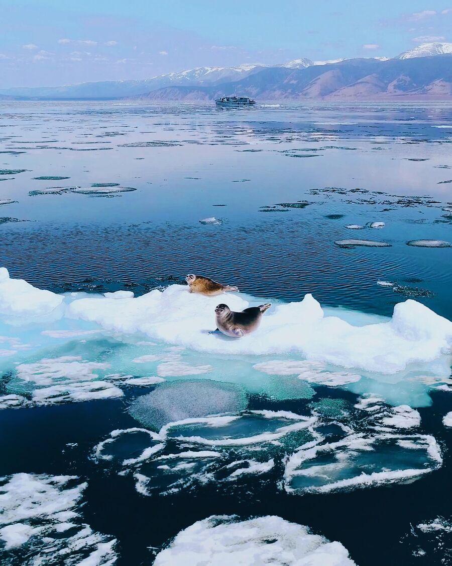 Нерпы на льдине, Байкал
