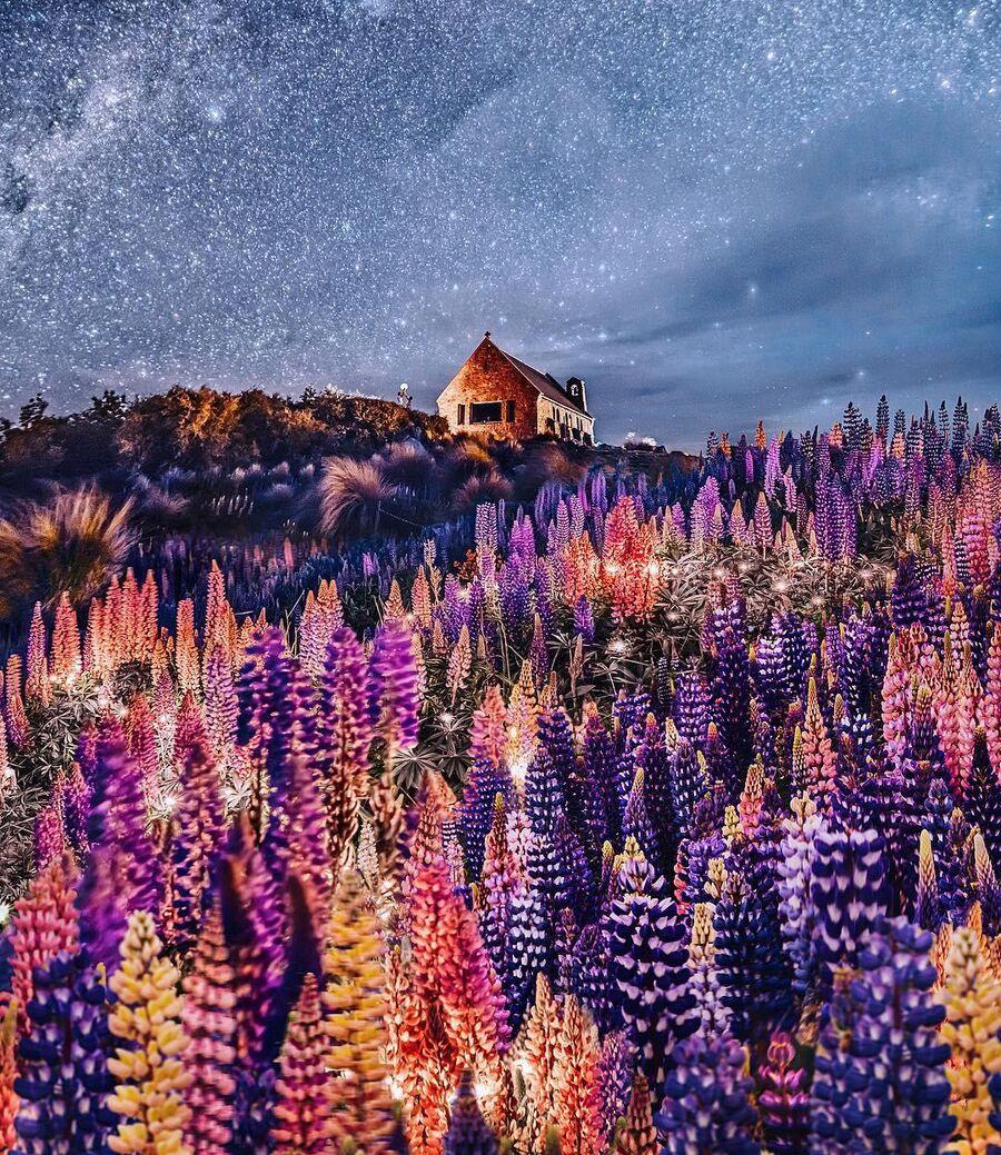 Цветение люпинов на озере Текапо в Новой Зеландии