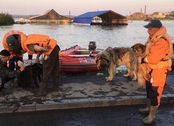 Сотрудники МЧС и кинологи питомника К-9 эвакуируют собак из зоны паводка в городе Тулуне. 30 июня 2019