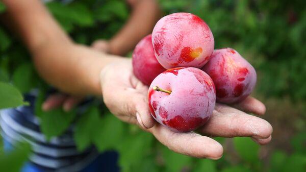 Сбор урожая алычи в садах опытно-производственного хозяйства Центральное Краснодарского края