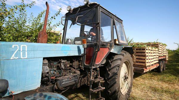 Погруженный для перевозки урожай алычи, собранный в садах опытно-производственного хозяйства Центральное Краснодарского края