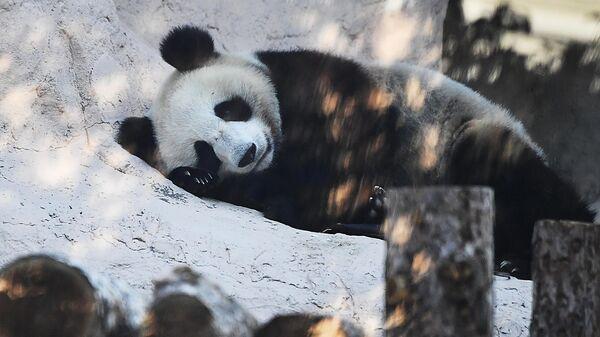 Большая панда, переданная Китаем Московскому зоопарку, в павильоне Фауна Китая