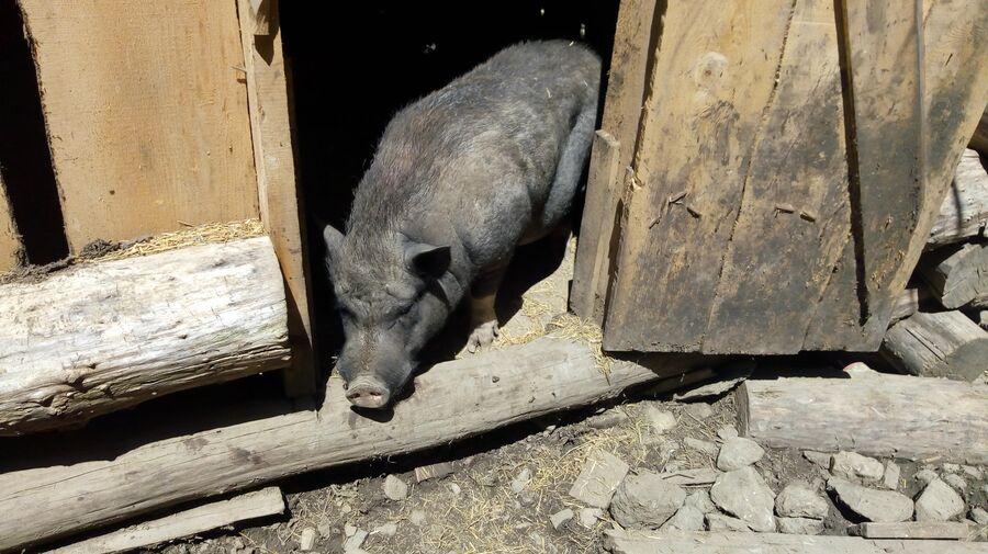 Свинья на хуторе