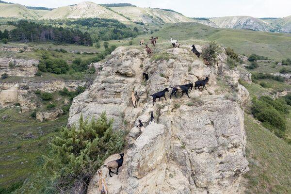 Горные козлы на горе на окраине Кисловодска