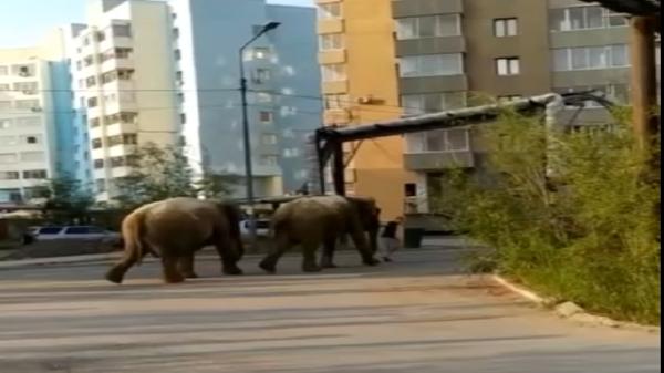 Слоны в Якутске