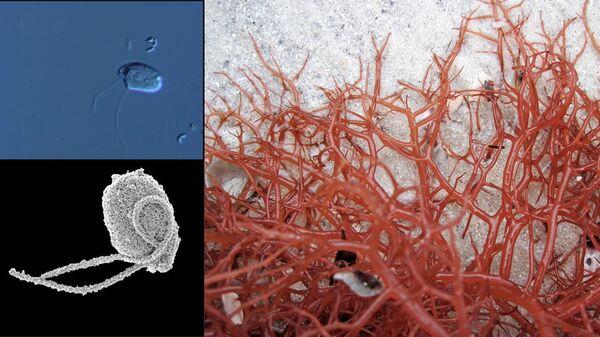 Хищные одноклеточные существа из рода Rhodelphis и их родич – красная водоросль Gracilaria tikvahiae
