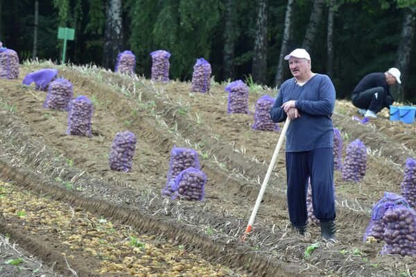 Президент Белоруссии Александр Лукашенко на сборе картофеля неподалеку от Минска