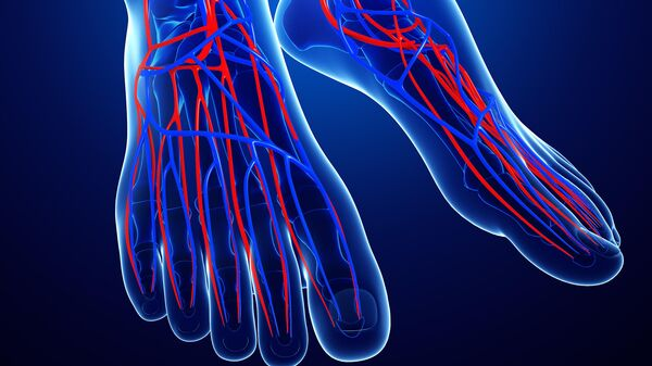 Система кровообращения ног